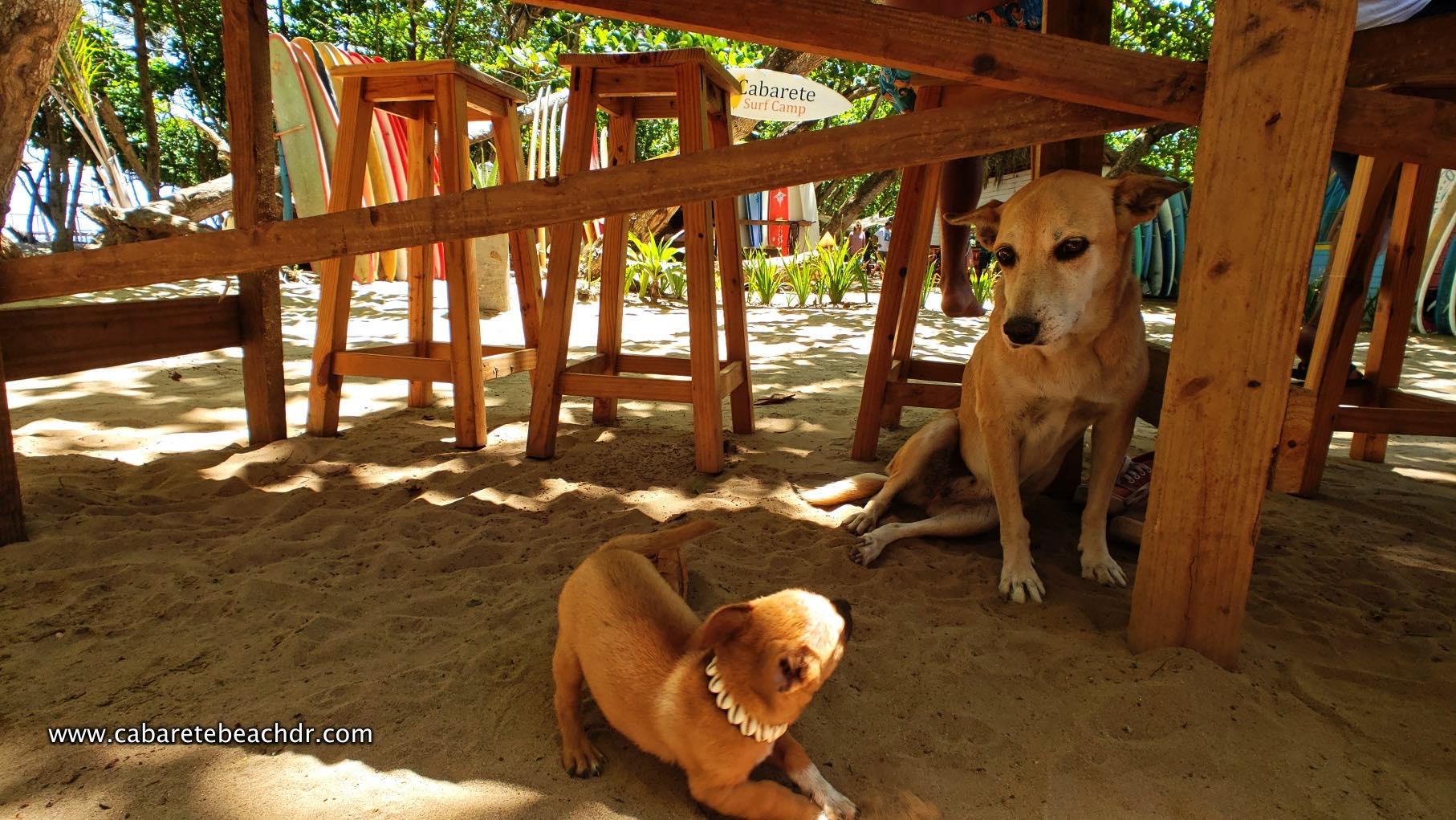 Dogs play in Encuentro Beach, Cabarete